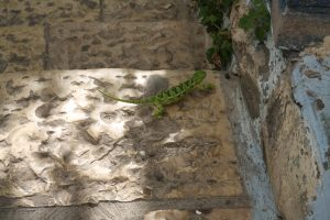 A lizard crossed our path in Tsfat. (photo by Lynne Golodner)