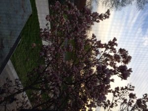 The view out my window early this morning of our first flowering tree.