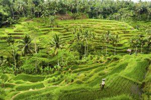 Bali-Rice-Terraces-000042611168_Full